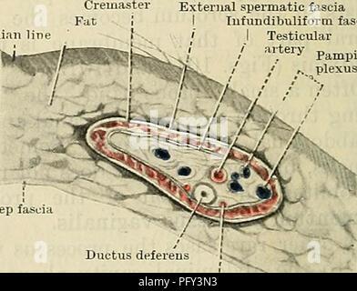 Cunninghams Lehrbuch der Anatomie. Anatomie. Ax. Bauchhöhle. p.v. ...