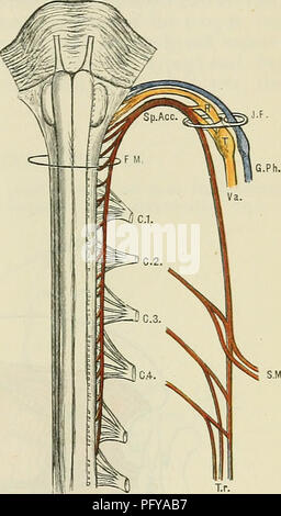 Spinale Würzelchen Stockfoto, Bild: 13185069 - Alamy