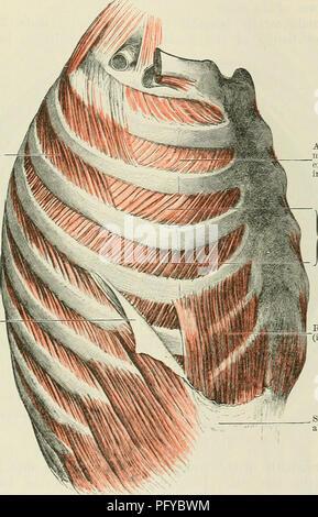 Cunninghams Lehrbuch der Anatomie. Anatomie. Die Nieren. 1261 stellt ...