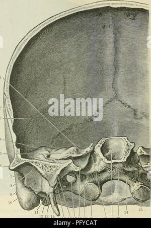 Cunninghams Lehrbuch der Anatomie. Anatomie. Die CEANIUM. 1361 durch ...