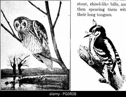 . Elementare Biologie, Tier und Mensch. Biologie. Vögel 79 62. Spechte. - Diese Vögel sind bewundernswert zu kriechen, angepasst und die Stämme der Bäume klettern, denn sie haben zwei Krallen und Zehen nach vorn, zwei nach hinten, und die Schwanzfedern sind so versteift, dass Sie dienen als Requisiten gegen die Rinde wenn der Vogel aufliegt (Abb. 66). Die Nahrung der Spechte ist weitgehend Com - von Insekten, die diese Vögel sicher durch das Graben Sie aus der Rinde oder das Holz mit ihren Stout, Meißel - wie Rechnungen, und dann spearing Sie ihren langen Zungen. Mit. Abb. 65. - Sumpfohreule. (Wright.) Abb. - Stockfoto