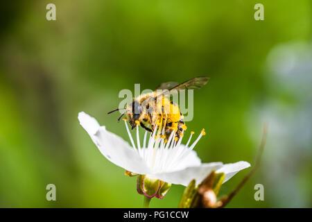 Eine hart arbeitende Europäische Honigbiene bestäubt eine Blumen im Frühling. Sie sehen große Pollen-körbe auf Beinen (corbicula). Schöne Makroaufnahme mit sha - Stockfoto