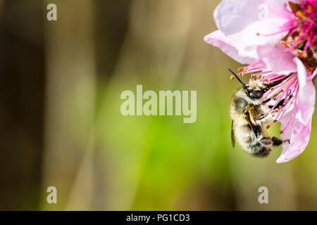 Eine fleißige Biene bestäubt eine rosa Blume im Frühling. Schöne Makroaufnahme mit einer geringen Tiefenschärfe und verschwommenen Hintergrund. - Stockfoto