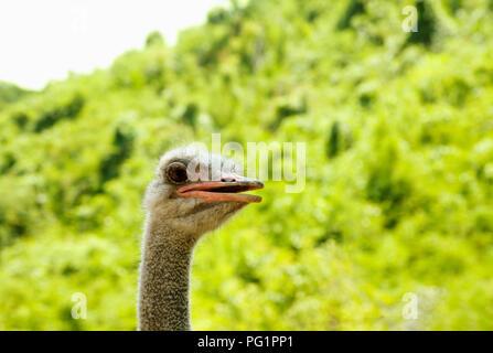 Strauß Kopf starrte auf Grün mit kopieren. Neugierig vogel Portrait in einem Zoo niedlich