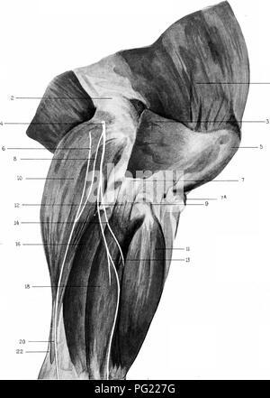 Die chirurgische Anatomie des Pferdes... Pferde. Platte V\' II ...