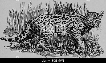 . Die pelzhändler und Fell der Tiere. Pelzhandel; Pelztiere. Die Katze Familie. 129 Geoffroy's Katze (Felis - geoffroy), in Paraguay und Chili gefunden, und das Ozelot - Katze (Felis - pardinoides) der Vereinigten Staaten von Kolumbien, sind Arten fast auf den Margay cat. Die ehemalige hat einen kurzen weißlichen braunes Fell, mit einem weißen Hals und eine weiße Streifen auf den Wangen, und zahlreiche gleichmäßig verteilt kleine schwarze Flecken auf dem Körper. Es hat auch vier schwarze Streifen auf der Krone, zwei auf den Wangen und auf der Brust. Der Schädel ist kurz und breit. Der Ozelot - wie Cat Maßnahmen achtzehn Zoll - Stockfoto