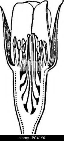 . Grundlagen der Botanik. Botanik; Botanik. Die BLUME DER HÖHEREN SAATGUT - Pflanzen 151 normalerweise, wie in Abb. 98, dies ist nur eine kleine Erweiterung der Blume - Halm, aber in der Rose (Abb. 102), den Teich Lily (Abb. 115), die Magnolie, die calycanthus, und viele andere vertraute Blumen Es ist groß und Con-spicuous. 180. Die blütenhülle. - Die Kelchblätter, oder Divi-sion des Kelchs, werden gewöhnlich Grün und etwas leaf-wie. Die blütenblätter in auffälligen Blüten sind von vielen Farben, angefangen von Violett bis Rot. Entweder Wirtel der Blütenhülle kann gefunden werden einige sehr eigenartige Form, zu tragen angenommen zu haben - Stockfoto