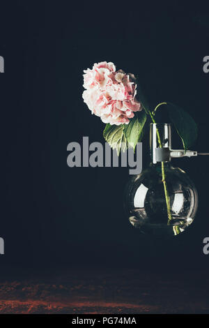 Rosa Hortensie Blume in glass vase, auf Schwarz - Stockfoto