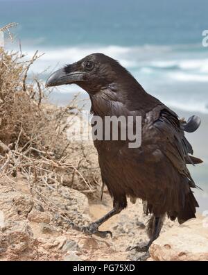 Alert Kanarischen Insel Rabe (Corvus Corax tingitanus) Erwachsene am Rand einer Klippe mit dem Meer im Hintergrund, Fuerteventura, Kanarische Inseln, Mai. - Stockfoto
