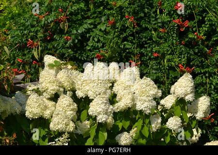 Wite hydrangea paniculata und ampsis (Trompete Kriechgang, Trompete Reben) - Stockfoto