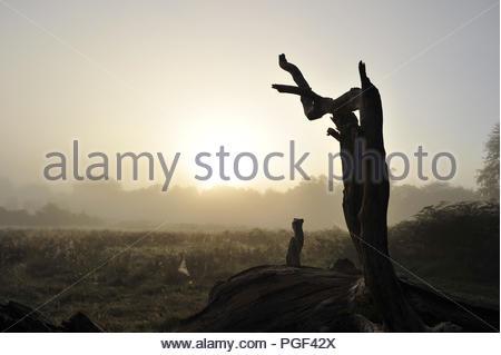 Trockenen Baum Silhouette gegen Morgen. Nebliger Sonnenaufgang im Richmond Park in Surrey England UK. - Stockfoto