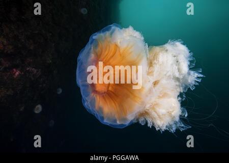 Lion's mane Quallen (Cyanea capillata, Cyanea arctica)