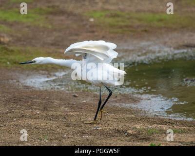 Seidenreiher (Egretta garzetta), um einen Teich - Stockfoto