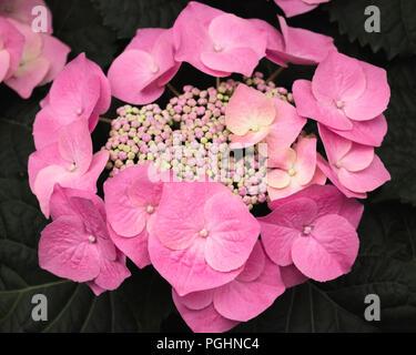 Rosa Hortensie / Hortensia - Stockfoto