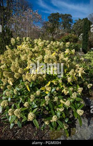 Skimmia confusa 'Kew Green'. Ein immergrüner Strauch mit hellgelben Blüten im Frühling. - Stockfoto