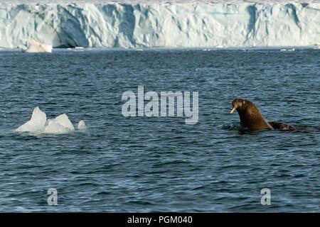 Gruppe der Walrosse schwimmen im Meer vor Bråsvellbreen, Austfonna, Nordaustlandet, Svalbard, Norwegen - Stockfoto