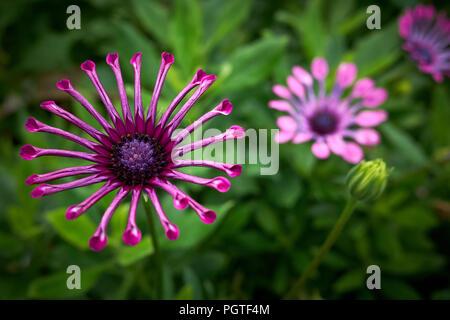 Spider lila osteospermum Blume in voller Blüte vor einem grünen Hintergrund - Stockfoto