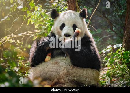 Panda Bären in China - Stockfoto