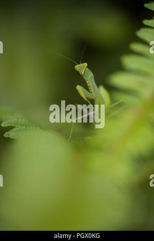 Sphodromantis viridis ist eine Pflanzenart aus der Gattung der Gottesanbeterin, der beibehalten wird weltweit als Haustier. Den gemeinsamen Namen gehören Afrikanische Mantis, riesige Afrikanische Mantis, ein - Stockfoto