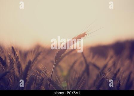Retro Vintage Style Bild von einem Weizenfeld bei Sonnenaufgang mit Ohren der reifenden Weizen Beleuchtung durch die Sonne mit Copyspace über den Himmel in einem landwirtschaftlichen Ein - Stockfoto