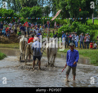 Chau Doc, Vietnam - Sep 3, 2017. Kühe (ox) Racing auf Reis Feld in Chau Doc, Vietnam. Der Ochse racing in Chau Doc hat eine uralte Tradition. - Stockfoto