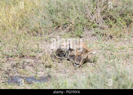 Grant's Gazelle (Gazella granti) new born baby allein liegen auf der Savanne, Ngorongoro Conservation Area, Tansania. - Stockfoto