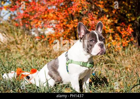 Junge verspielte 6 Monat alte Französische Bulldogge für meine Kamera posieren und spielen im Herbst Blätter. - Stockfoto