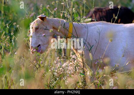 Weiße Ziege auf einer spanischen Berg. - Stockfoto