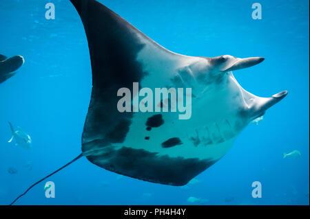 Manta Ray am Georgia Aquarium in Atlanta, Georgia. (USA) - Stockfoto