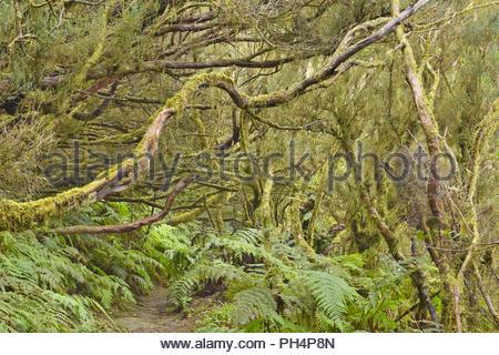 Bäumen bedeckt mit Moos und Flechten, Wanderweg durch dichten Lorbeerwald, Anaga ländlichen Park im Nordosten von Teneriffa Kanarische Inseln Spanien. - Stockfoto