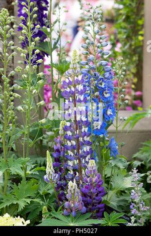 Lupin und Rittersporn Blumen auf einem Display eine Blume zeigen. Großbritannien - Stockfoto