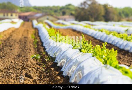 Landwirtschaft, Gemüse für den Schutz - Stockfoto