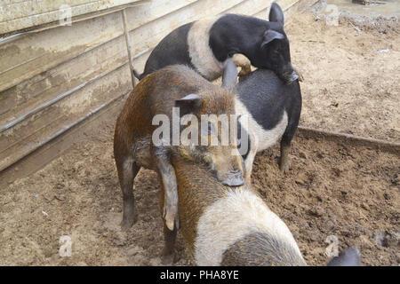 Ferkel in einer Farm Spaß mit Wasser und Schlamm - Stockfoto