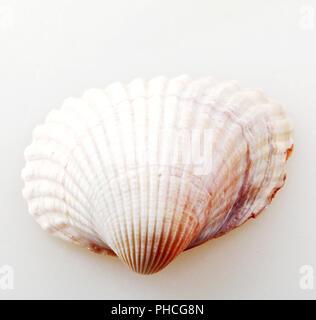 Seashell isoliert - Stockfoto