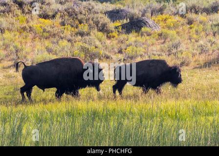 ... Amerikanische Bison (Bison bison) männlich weiblich während der brunft  Jagen Jahreszeit, Yellowstone National 14374c70b2