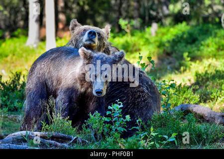 Brauner Bär Mamma mit einem jährling im Wald. - Stockfoto