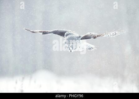 Nahaufnahme der Bartkauz (Lappland owl) im Flug im Winter, Finnland. - Stockfoto