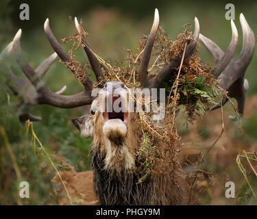 In der Nähe des Red Deer stag brüllen mit Farnen drapiert, um seinem Geweih während der Brunftzeit, UK. - Stockfoto