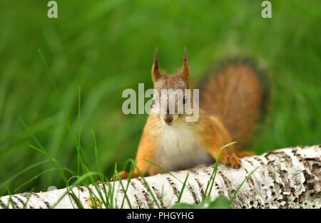 Nahaufnahme eines neugierigen Eichhörnchen (sciurus Vulgaris) im Gras von einer Birke anmelden. - Stockfoto