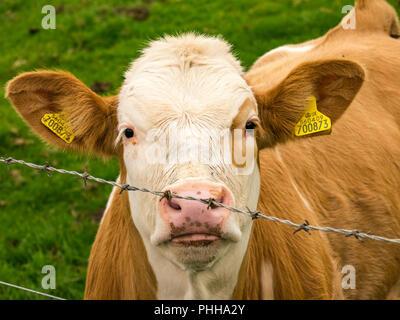 Blick durch den Zaun in Viehhütte Kalb Stockfoto, Bild: 136162876 ...