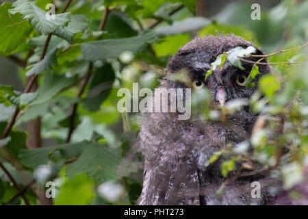 Junge Bartkauz, Strix nebulosa, versteckt unter den Baum Laub. - Stockfoto