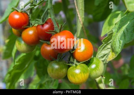 In der Nähe von Fachwerk von Rot und Grün Cherry Tomaten reifen auf der Pflanzen im Gewächshaus im August, Vielfalt der Gärtner Freude, England, UK. - Stockfoto