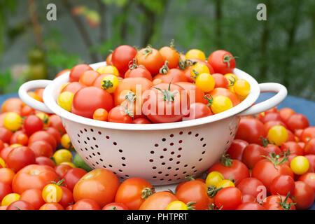 Lycopersicon esculentum. Tomaten in einem Sieb. - Stockfoto