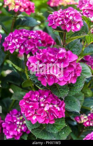 "Bigleaf Hydrangea, Hydrangea Macrophylla 'Merveille Sanguine"" - Stockfoto"