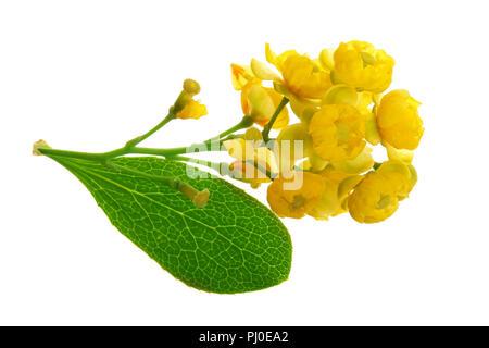 Blumen von berberitzen mit Blättern auf weißem Hintergrund - Stockfoto