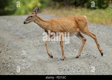 Eine white tailed deer kreuzt eine Schotterstraße in der Nähe von Hauser, Idaho. - Stockfoto