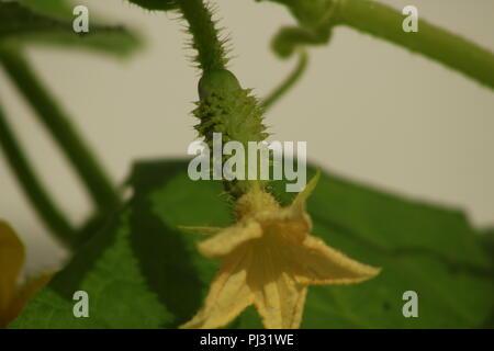 Gurken Pflanzen im Gewächshaus im späten Frühjahr. Gelbe Blumen und grüne Blätter der Gurke. Viele grüne Gurke verlässt die grünen Hintergrund.. - Stockfoto