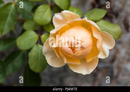 Nahaufnahme der Aprikosenrose - Rosa 'Jude the Obscure' in einem englischen Garten, Großbritannien - Stockfoto