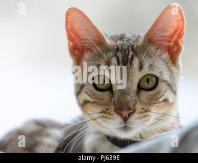 Schönen männlichen silver Bengal kitten indoor Porträt an ungefähr 6 Monate alt - Stockfoto