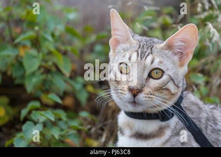 Schönen männlichen silver Bengal kitten Outdoor Portrait an ca. 6 Monate alt - Stockfoto